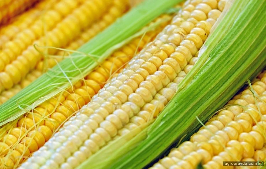 Какие гибриды сладкой кукурузы представила компания MAY на «Интер Агро»
