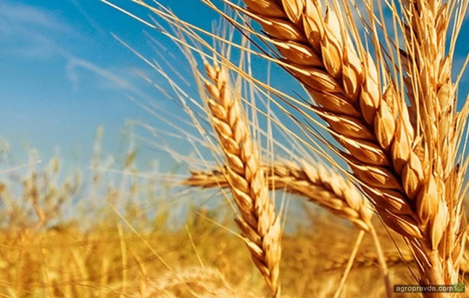 Как обеспечить быстрый старт озимой пшеницы