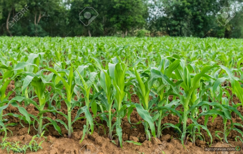 Dekalb запускает бесплатный расчет норм высева семян кукурузы