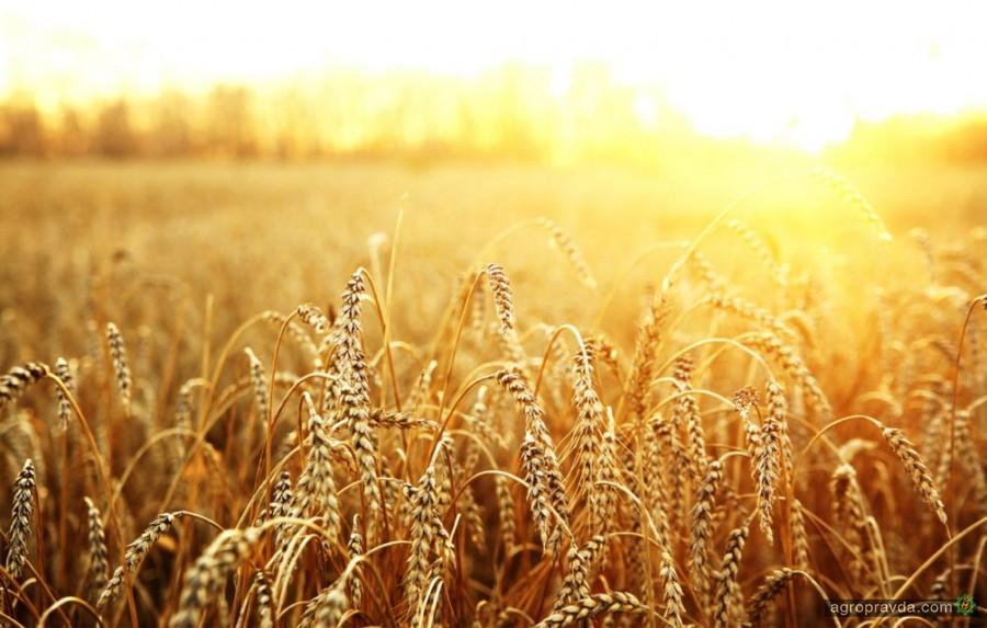 Как получать в засушливых условиях по 50 ц/га озимой пшеницы на круг