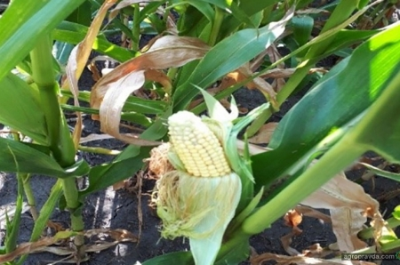 Стеблевой кукурузный мотылек: на контроле