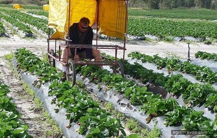 Как креативно собирают урожай клубники