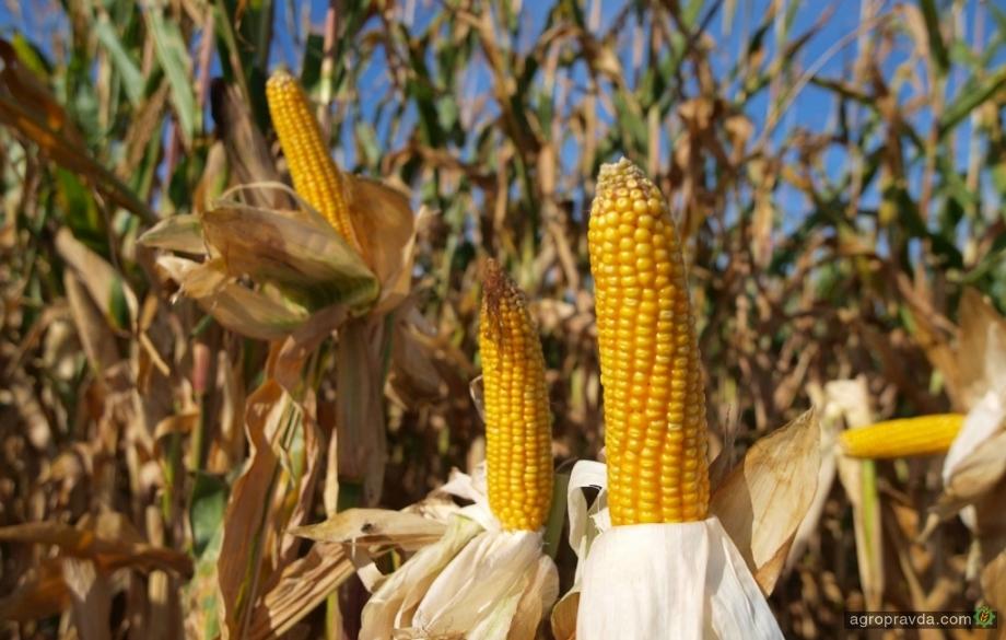 Кукуруза в монокультуре: опыт ПП «Альтаир»