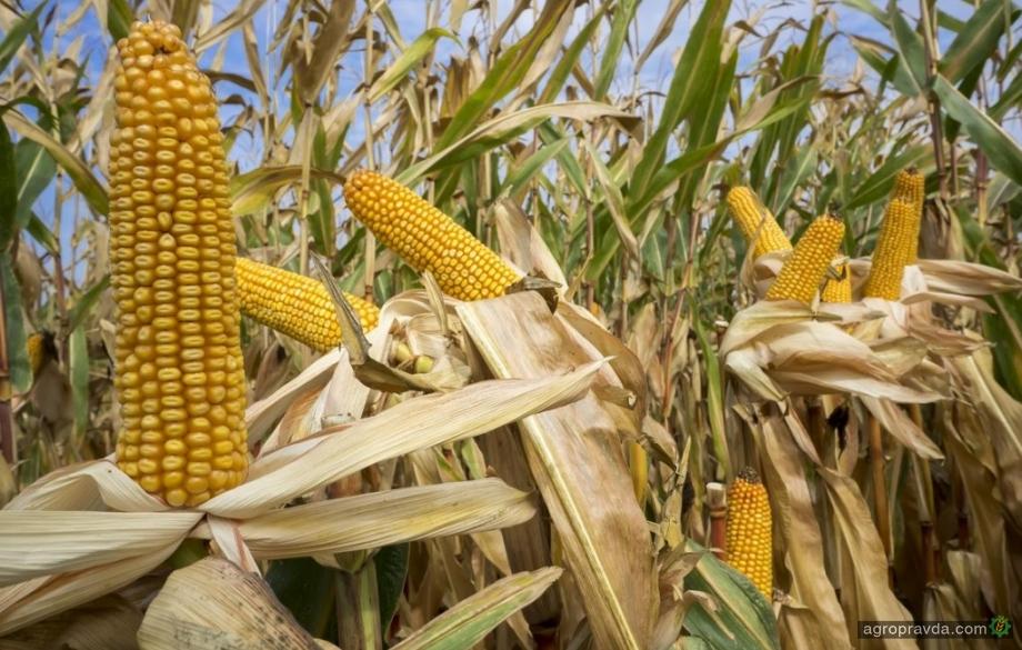 Китайцы собираются строить на Тернопольщине завод по переработке кукурузы