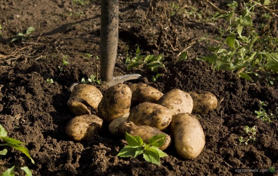 В Украине самый дорогой картофель в Евразии