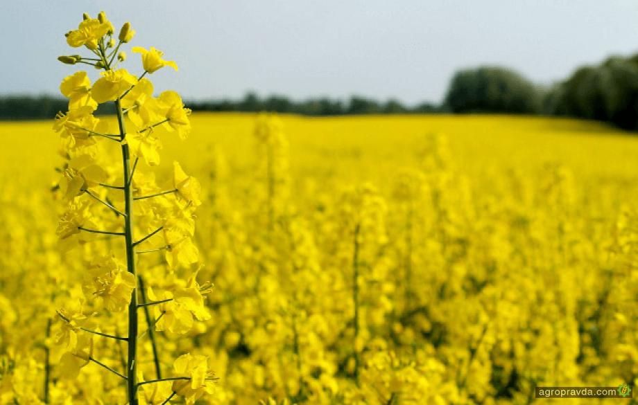 Посевы озимого рапса в Украине страдают от засухи и болезней