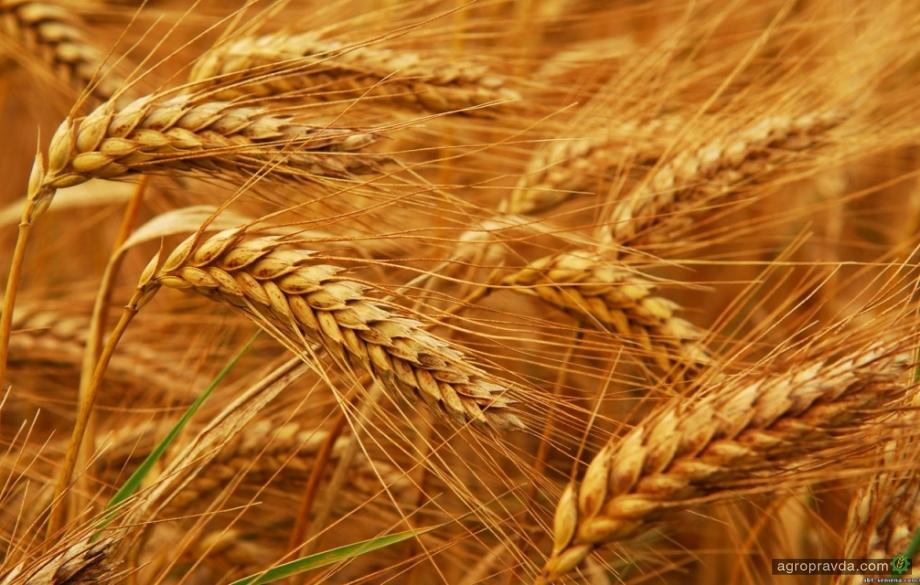 Ранние зерновые созревают на полторы-две недели раньше