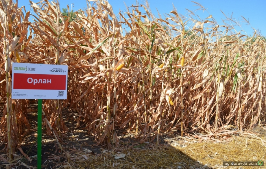 Какие новые гибриды кукурузы представила Selekta Seeds