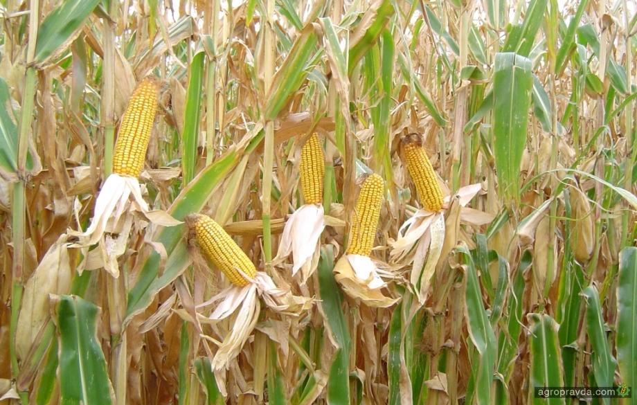 В Украине существенно возросло производство семян кукурузы