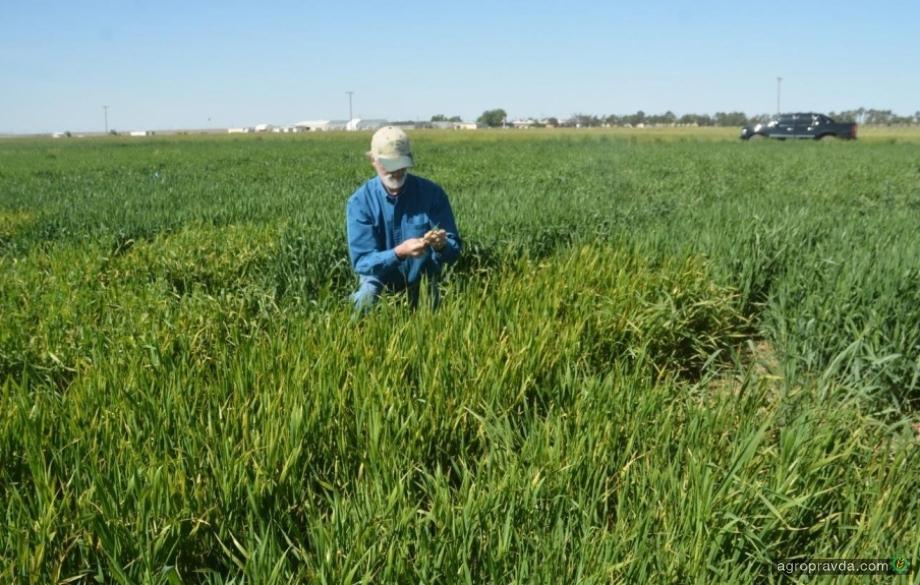 RAGT вывел сорт пшеницы с резистентностью к вирусу BYDV