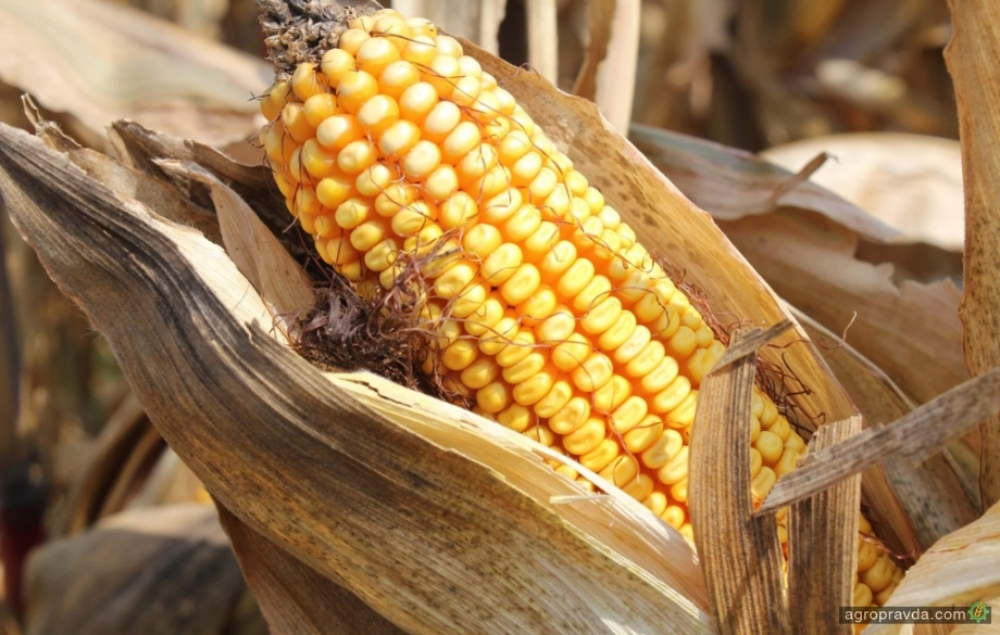 Какие новые гибриды кукурузы представила «Сингента»