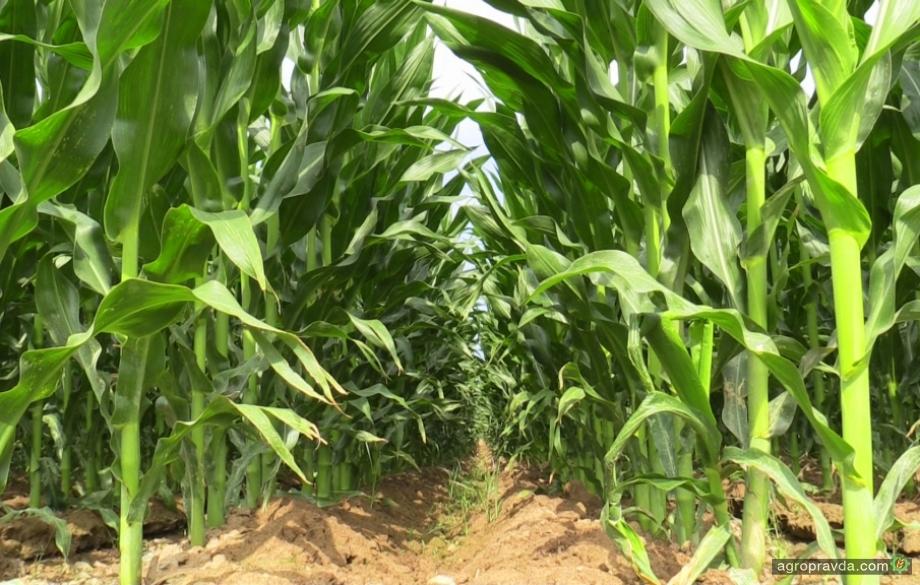 Monsanto создала кукурузу, устойчивую к четырем видам гербицидов