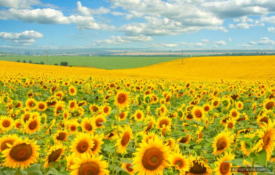 Установлен национальный рекорд урожайности подсолнечника