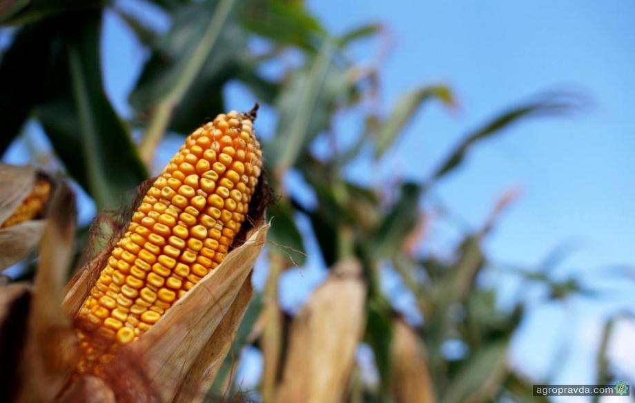 В Украине в 1,5 раза выросла урожайность кукурузы