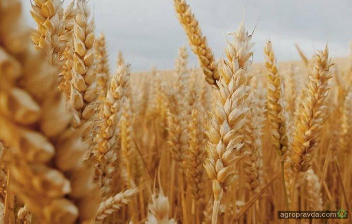 Цены на пшеницу замерли в ожидании отчета USDA