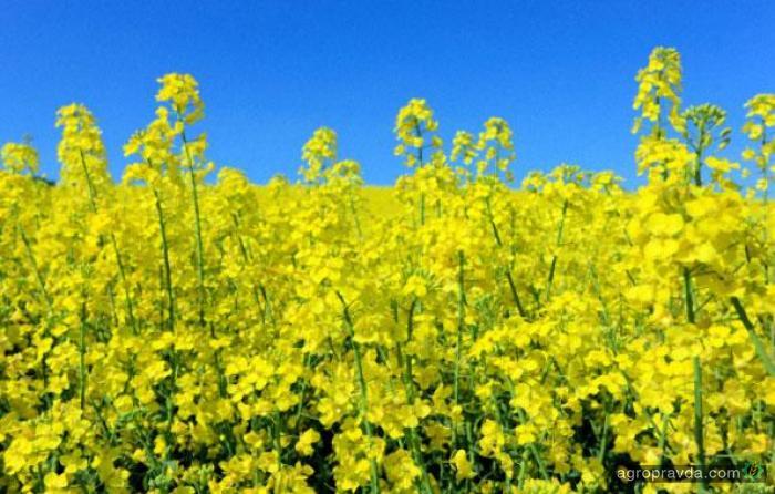 Украинские аграрии приступили к уборке озимого рапса