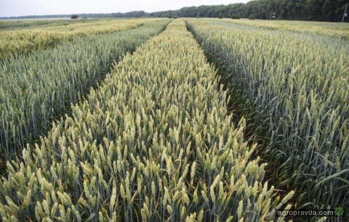 Каким будет урожай пшеницы в Украине