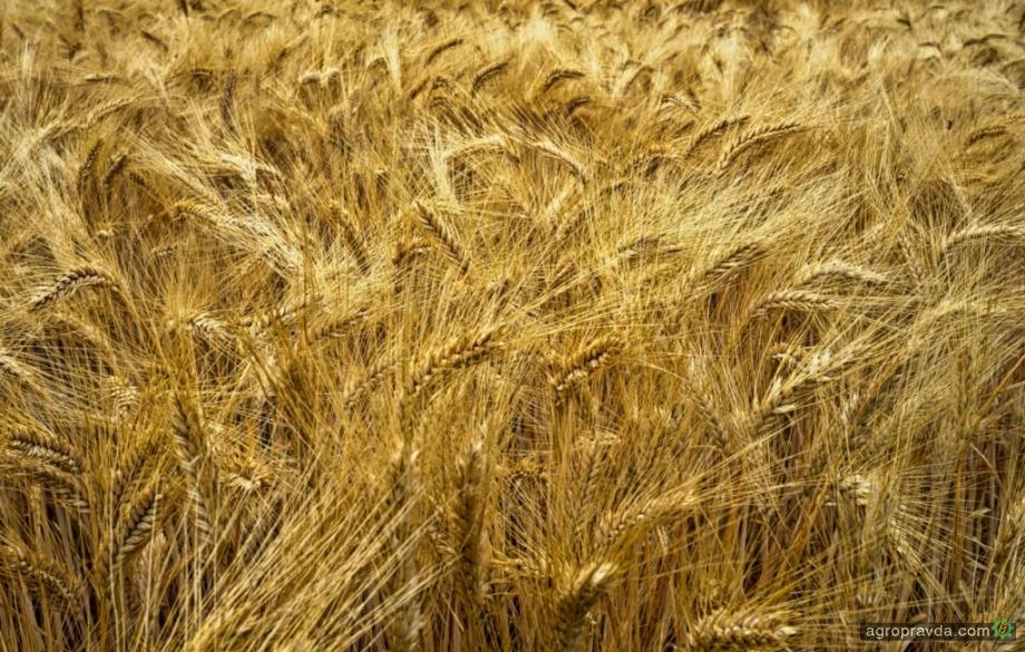 Украина экспортировала пшеницы более чем на $800 млн