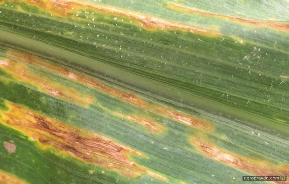В Штатах кукурузу атаковала очередная «зараза»