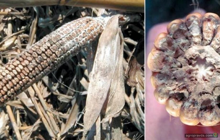 Угрожает ли посевам кукурузы в Украине опасное карантинное заболевание?