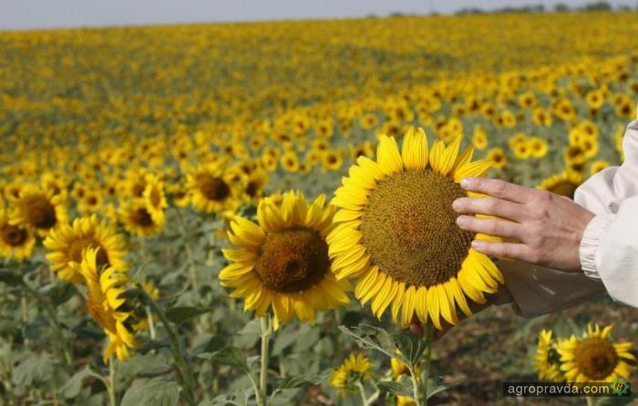 Производство подсолнечного масла увеличилось на 17%