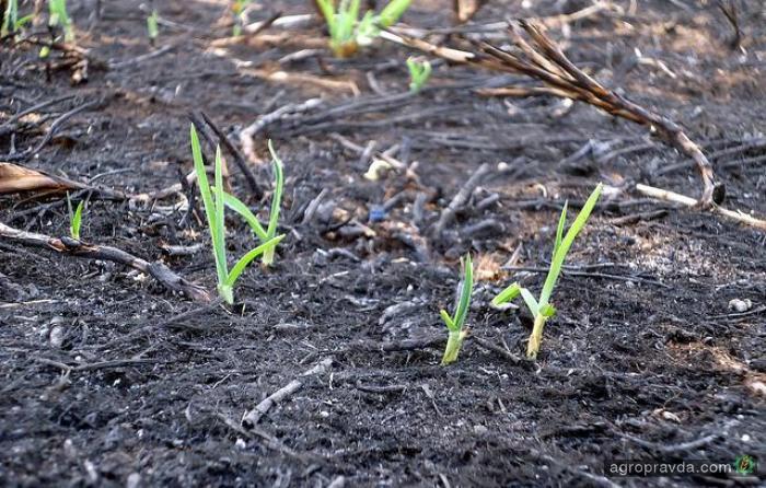 Разработано растение для разминирование полей