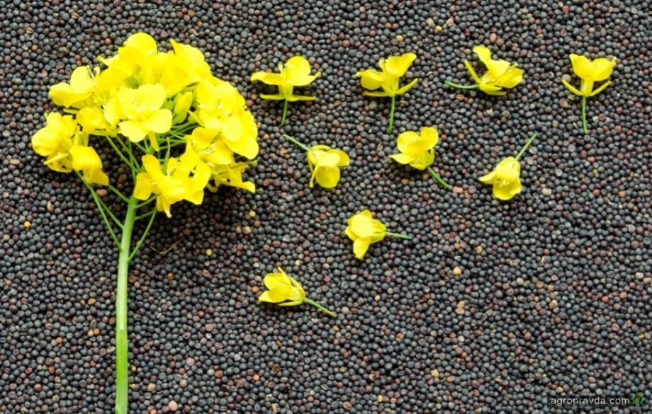 Вітчизняне насіння озимого ріпаку може зникнути з ринку